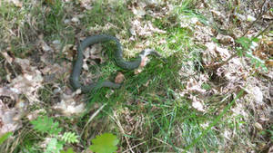 Snake in the woods