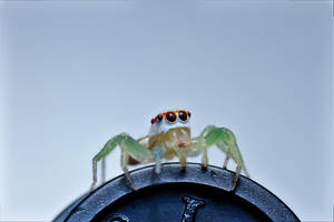 Striped Jumping Spider by Anrico
