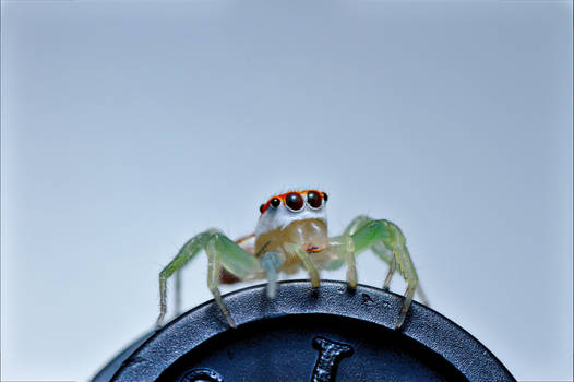 Striped Jumping Spider