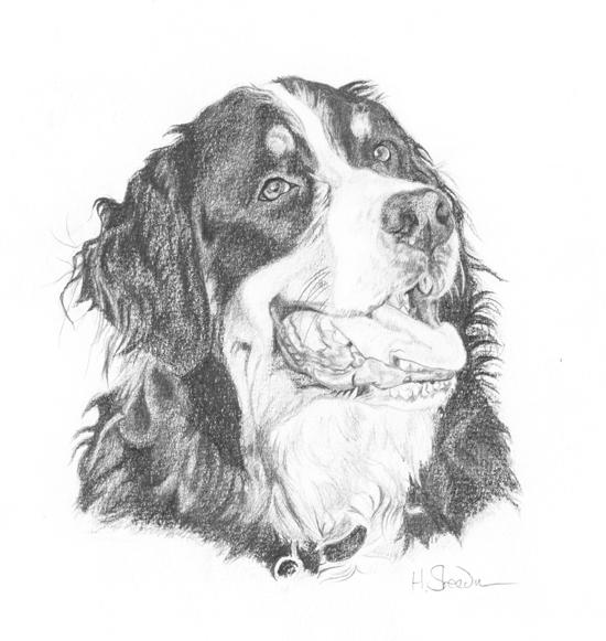 Bernese Mountain Dog By Utlah On DeviantArt