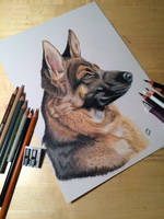 German shepherd- colored pencils by sdographics