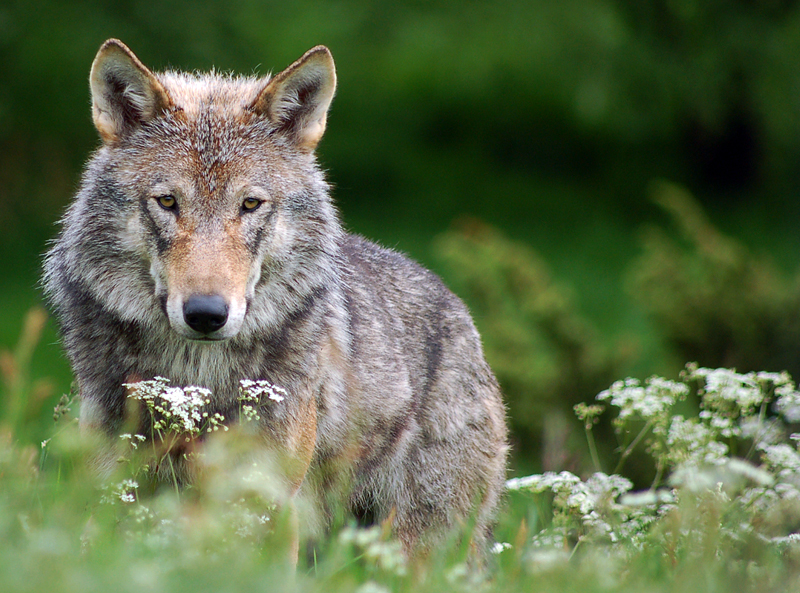 Wolf by fremlin