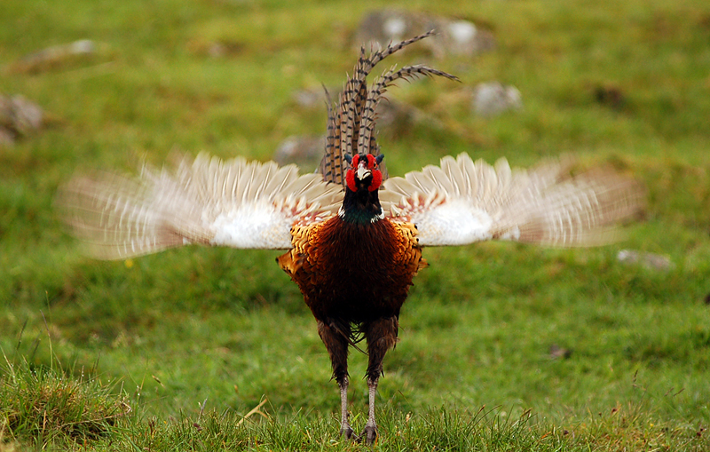 Pheasant by fremlin