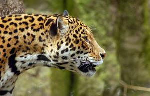 Jaguar by fremlin