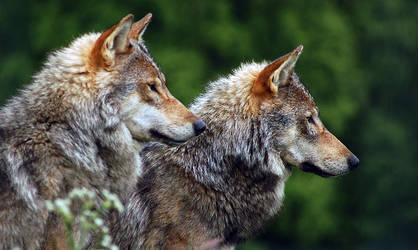 Wolves by fremlin