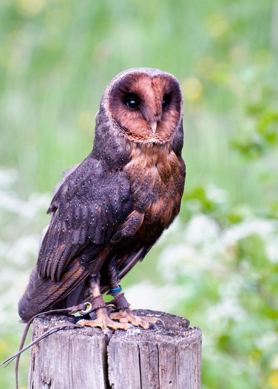Melanistic barn owl by fremlin