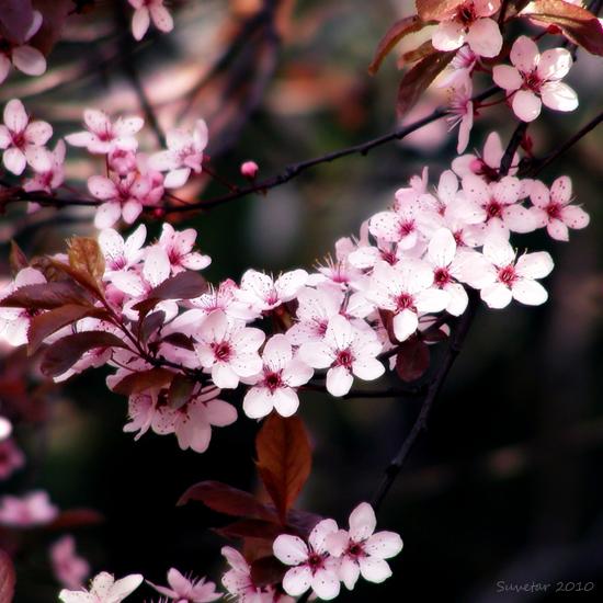 Bring me flowers... by Suvetar