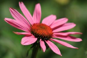 in bloom coneflower by deftones1979
