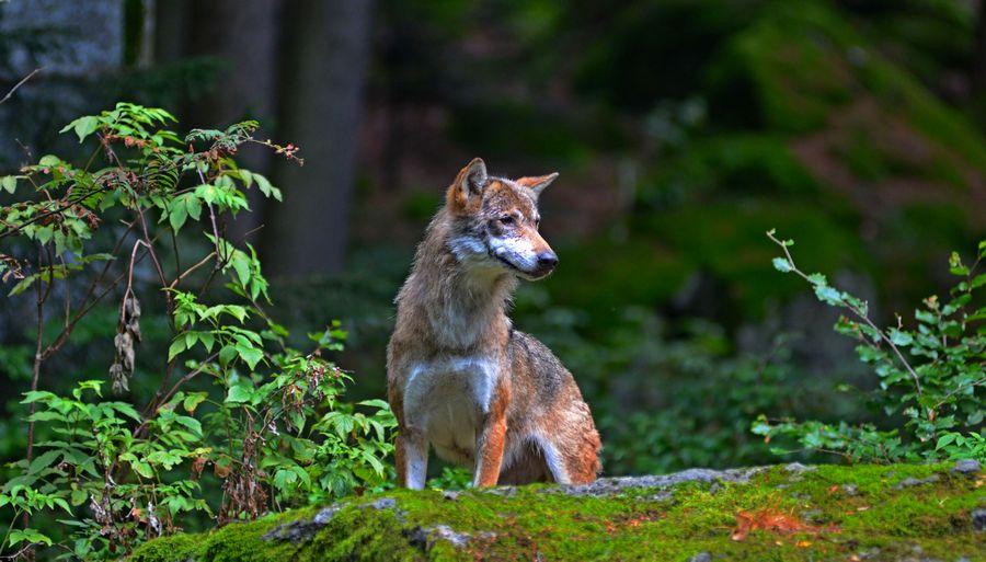 Wolf by Daisydog8