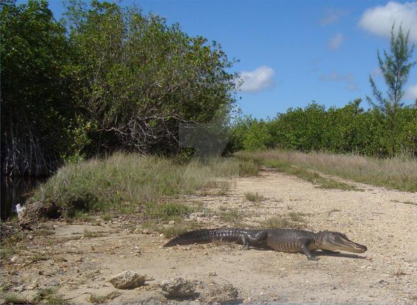 Alligator4 2012 by nudagimo