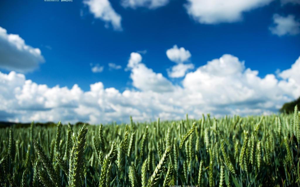 Wheat 2560x1600 by hermik