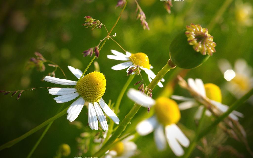 Wiesenblumen 2560x1600 by hermik