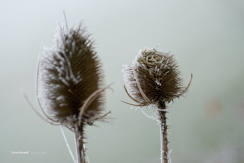 cold thistle by hermik