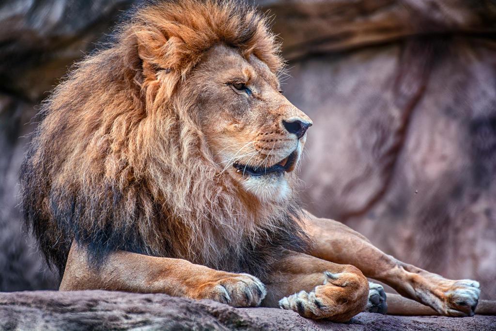 Lion-1563980 by licantroppus