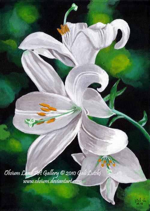 Lilium Candidum by Olvium