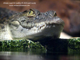 Young Crocodile by Olvium