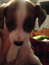 On of the puppies I ha d to sell by puppiesarecute122415