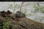 Squirrel Stock 02 (CC)
