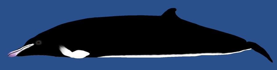 Gosse's Whale