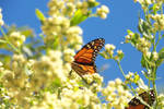 butterfly1 by slugpitcher