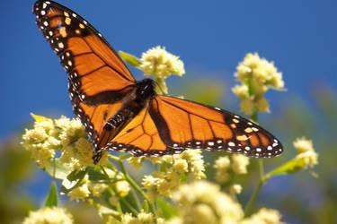 butterfly2 by slugpitcher