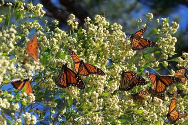 flock of butterflies by slugpitcher