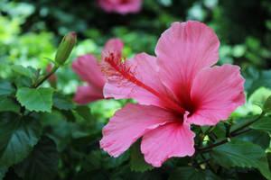 Hibiscus Flower by HeavensDreams