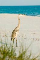 Heron on the Beach - 1 by Dragonpyro0085