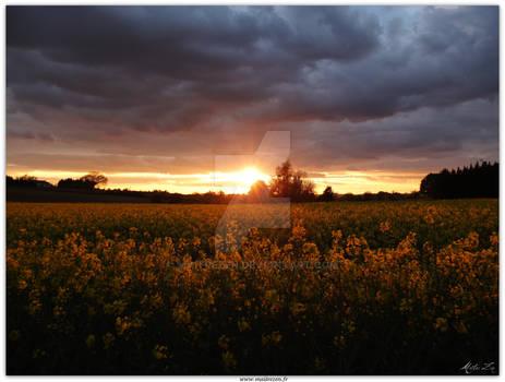 dusk on a rapeseed field