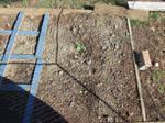 Zucchini Plants 2