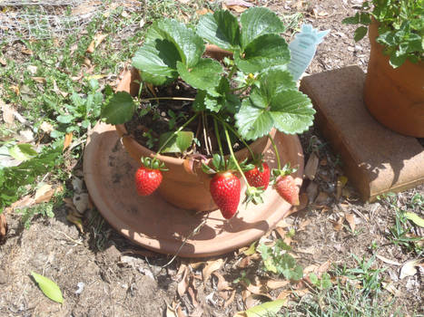 Stawberries in a pot