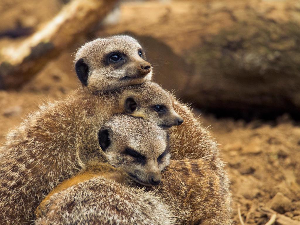 Meerkats by Dellboyy