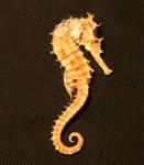 Seahorse 01