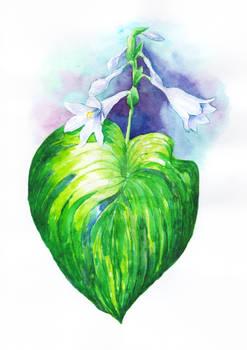 Hosta 'Dorothy Benedict' flowers