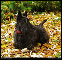 Autumn scottie