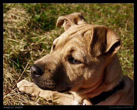 Amstaff puppy