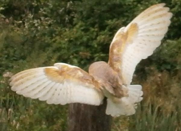 Flying Barn Owl by hilldren