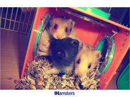 Hamsters by MStegeman