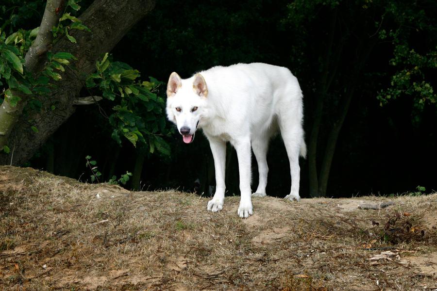 Northern Inuit Dog Uk