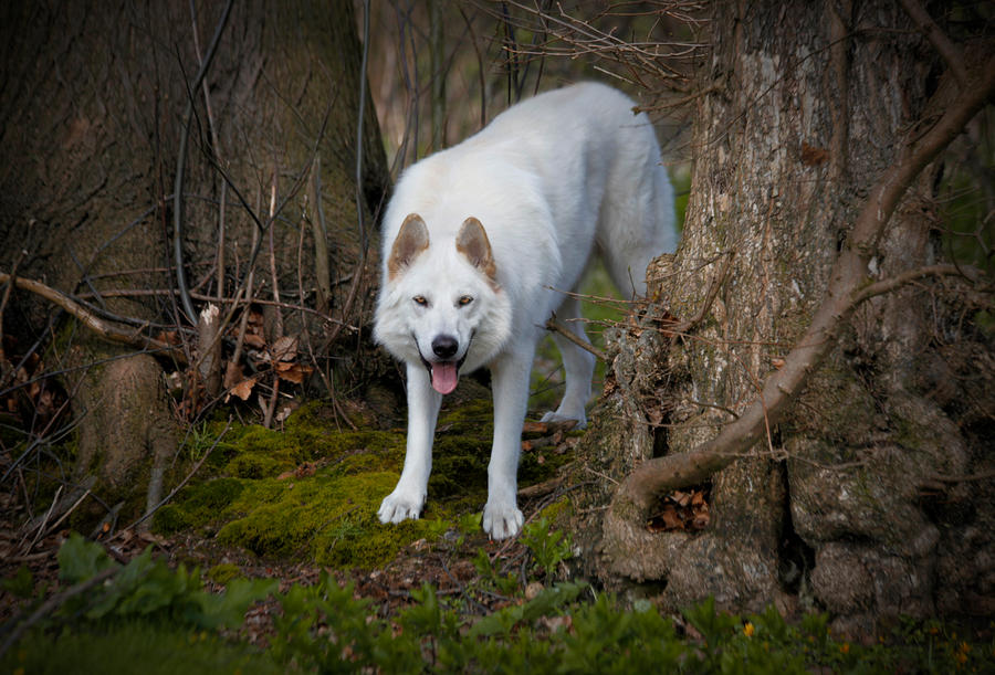 Northern Inuit Dog For Sale Australia