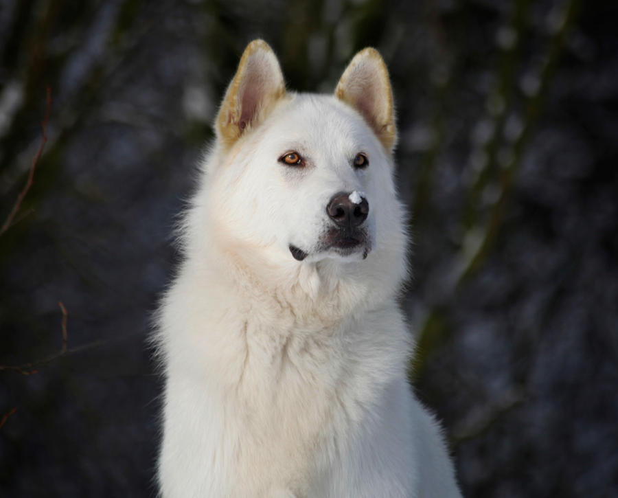 """white lies inuit To exterminate inuit via their sled dogs, the qtc uncovers no smoking gun   pecially john steckley's unpacking of three major """"white lies"""" told by leading."""