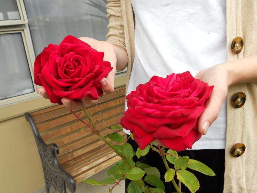 Rose 2 by Neferneferuaten