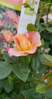 Tropical Chinese Rose