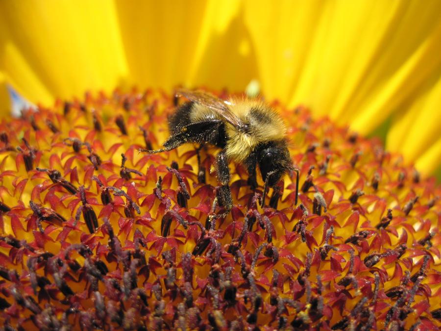 Bee on Sunflower by Steve-C2