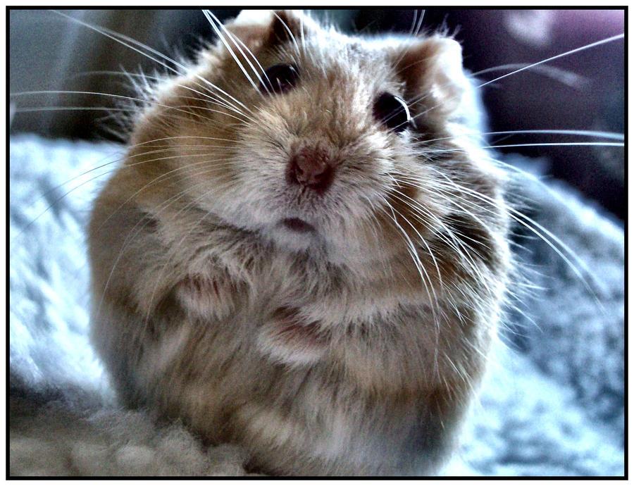 Hamster by DimmedFaith