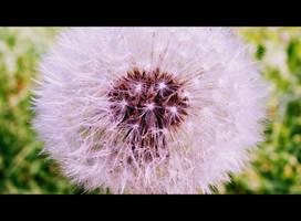 Dandelion by niwaj