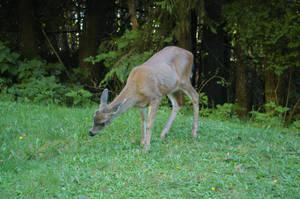 Port Renfrew Deer