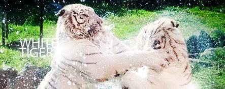 White Tiger by MantoiArtGFX