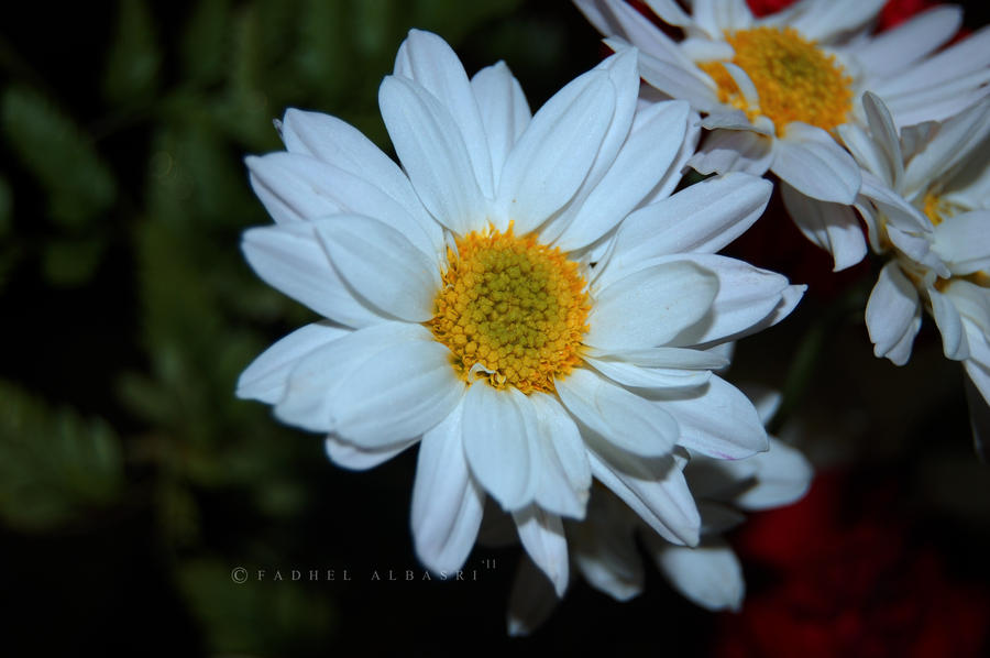Daisy Flower by Saher4ever