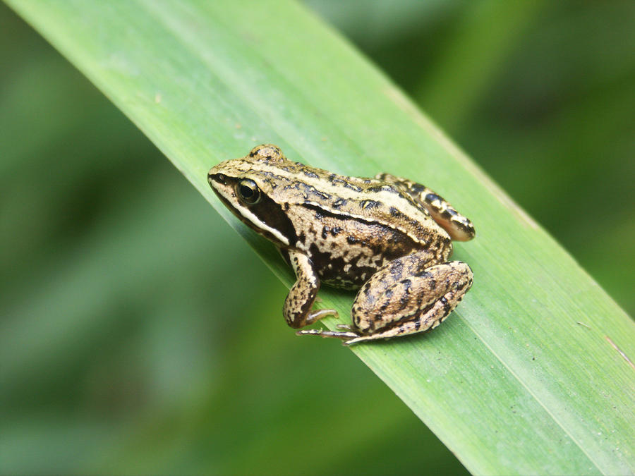 Everglades Amphibians - Lessons - Tes Teach